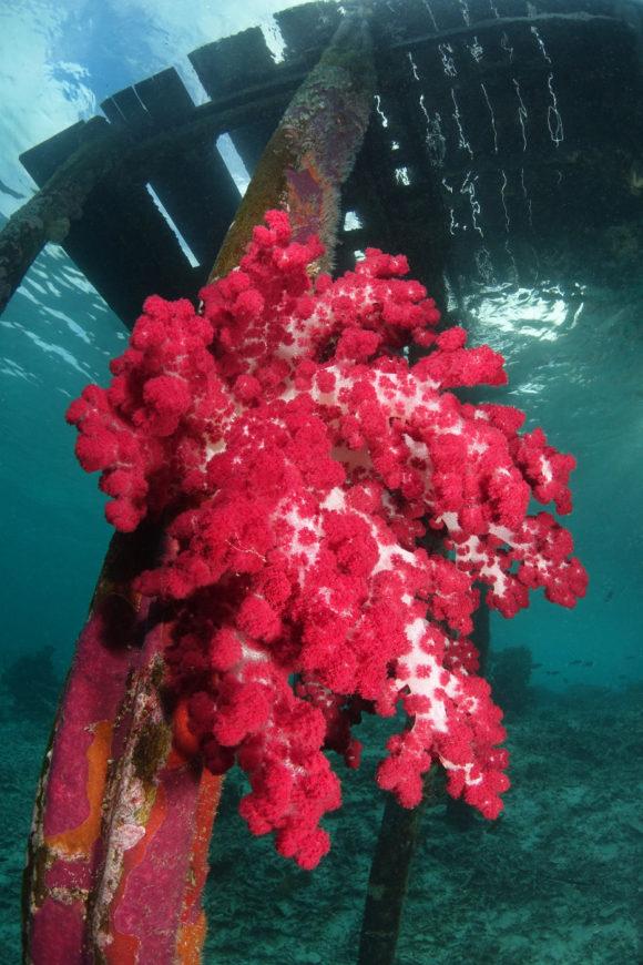 Koralle unter dem Steg