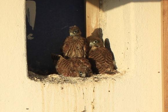 Junge Falken