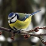 Kernbeißer, Blaumeisen – Vögel im winterlichen Deutschland