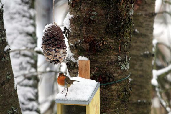 Rotkelchen auf dem Oachkatzl-Heisl (Eichhörnchen-Fütterungs-Apparatur)