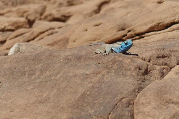 Blaukopf-Schönechse (Agame) – vermute ich